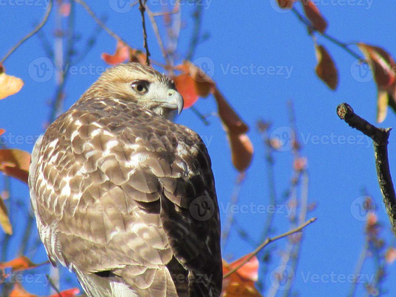 cabeza de halcón de cola roja en el perfil foto