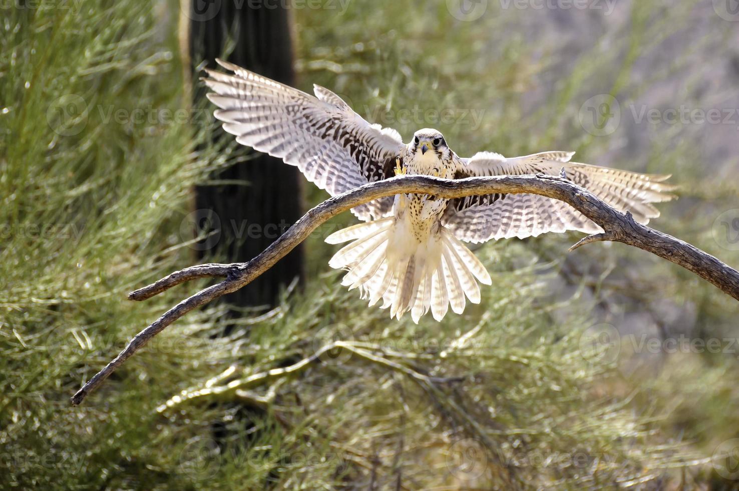 Ferruginous Hawk photo