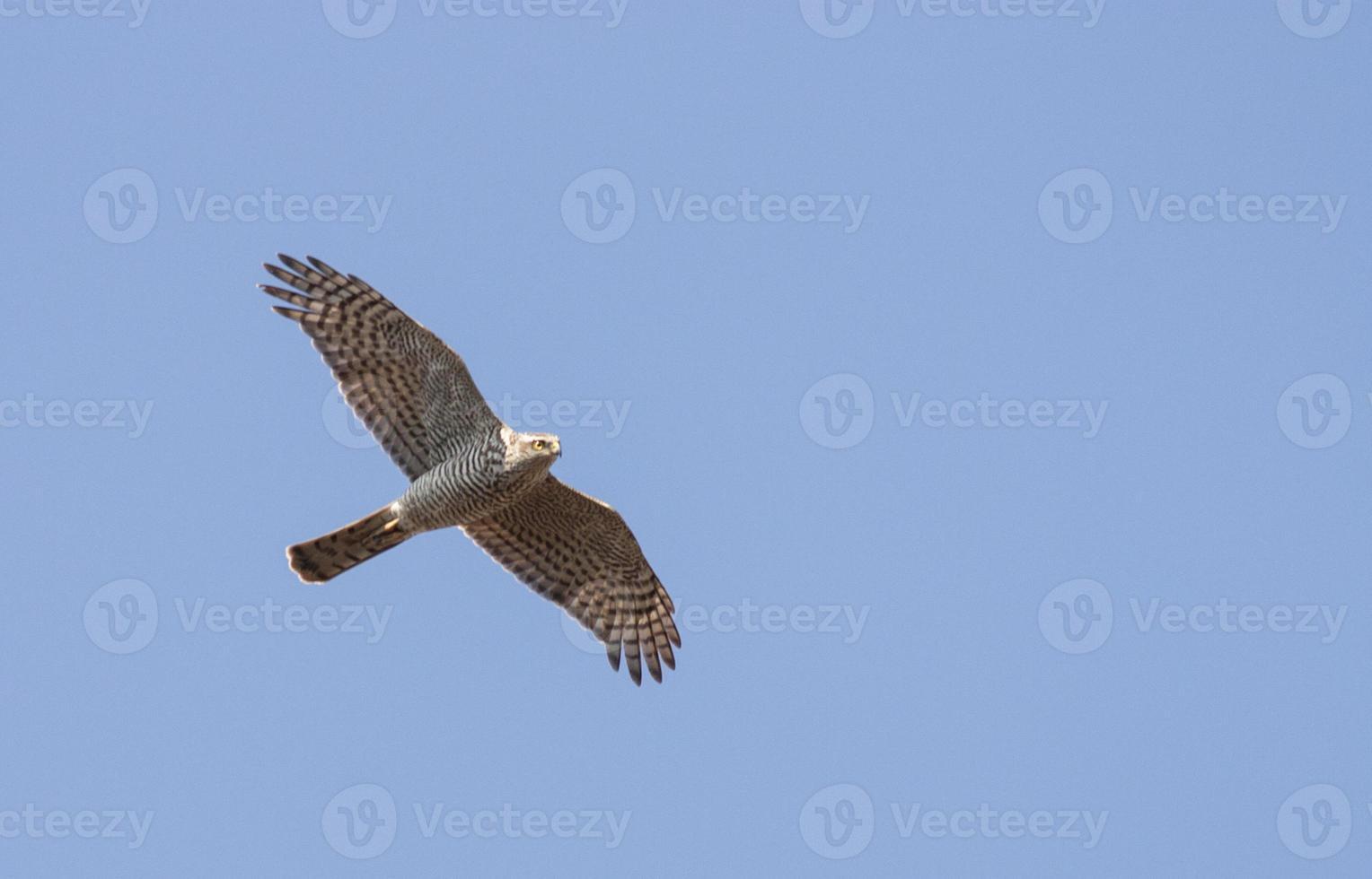 Sparrowhawk (Accipiter nisus) photo
