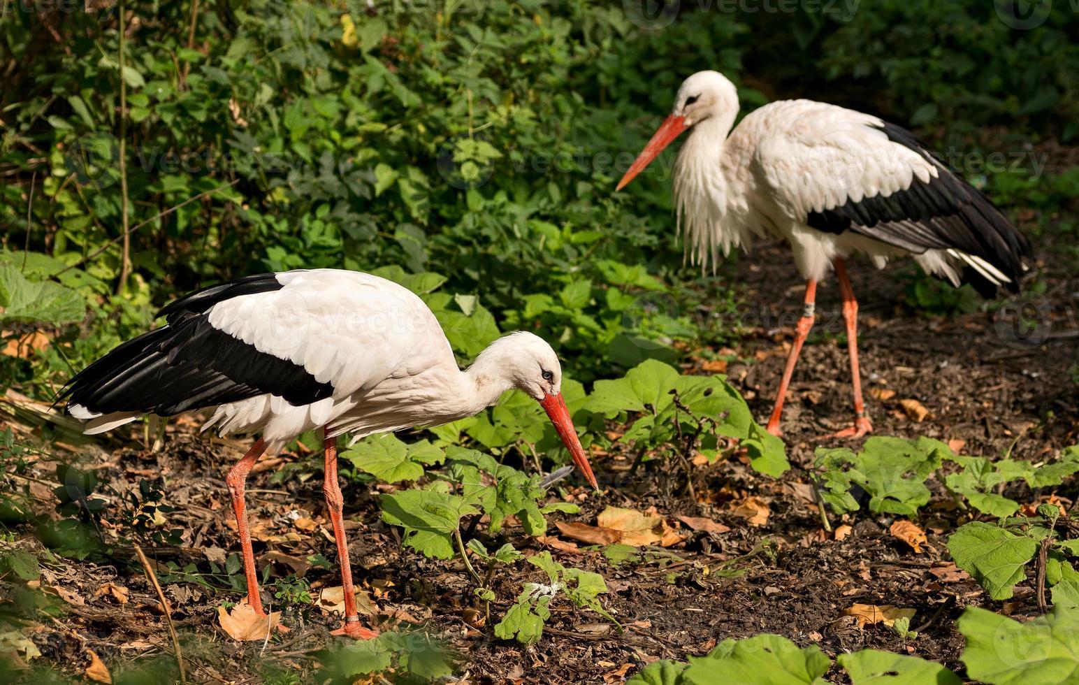 Couple of White storks photo