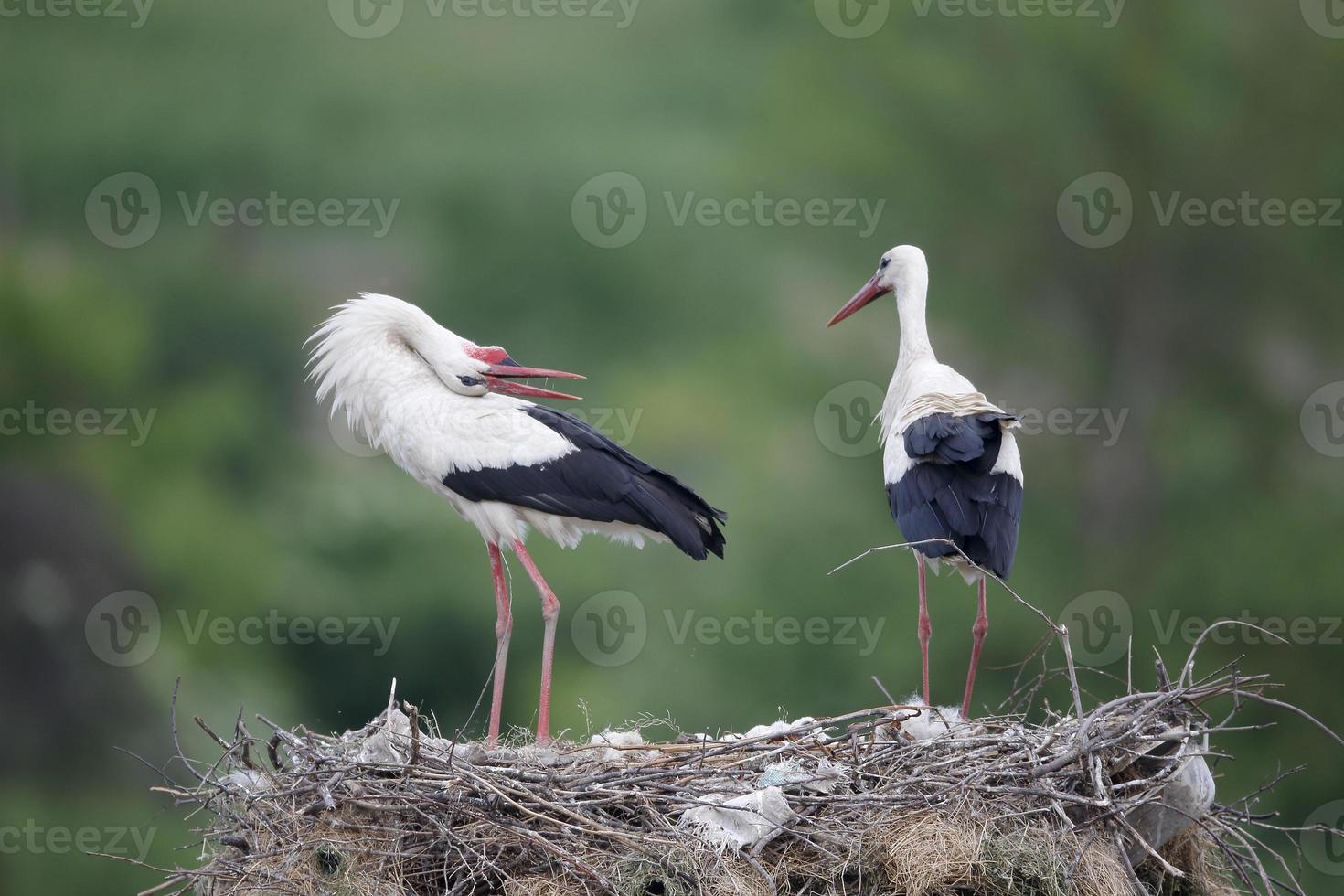 White stork, Ciconia ciconiaa photo