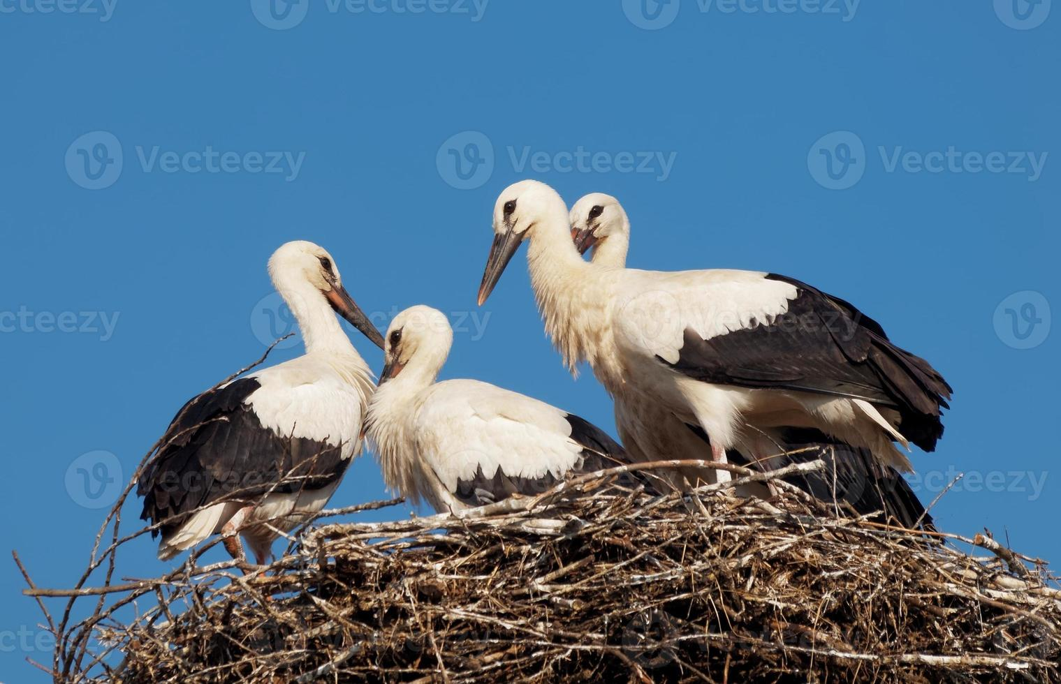 White stork babies (Ciconia ciconia) in the nest photo