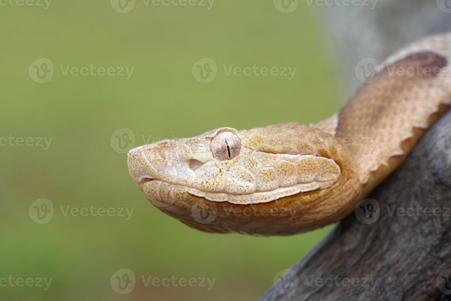 Southern Copperhead Snake photo