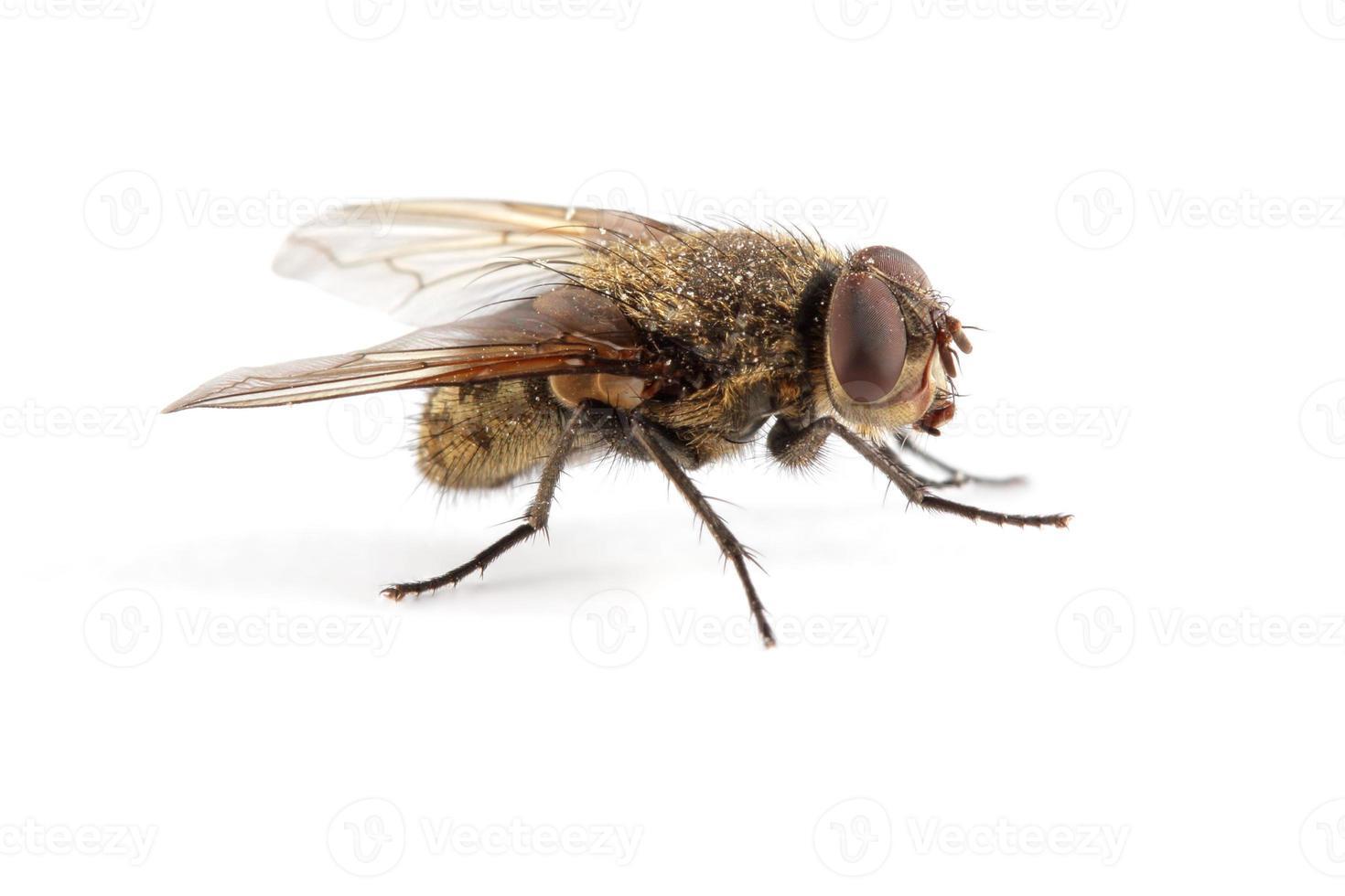 mosca doméstica foto