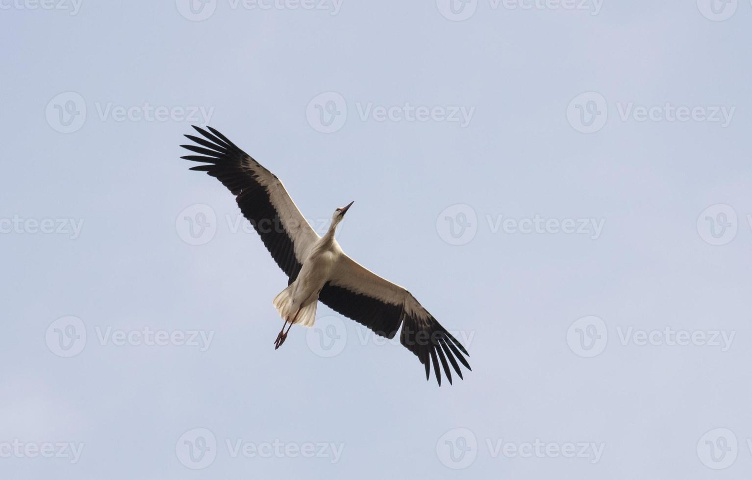 White Stork (Ciconia ciconia) photo