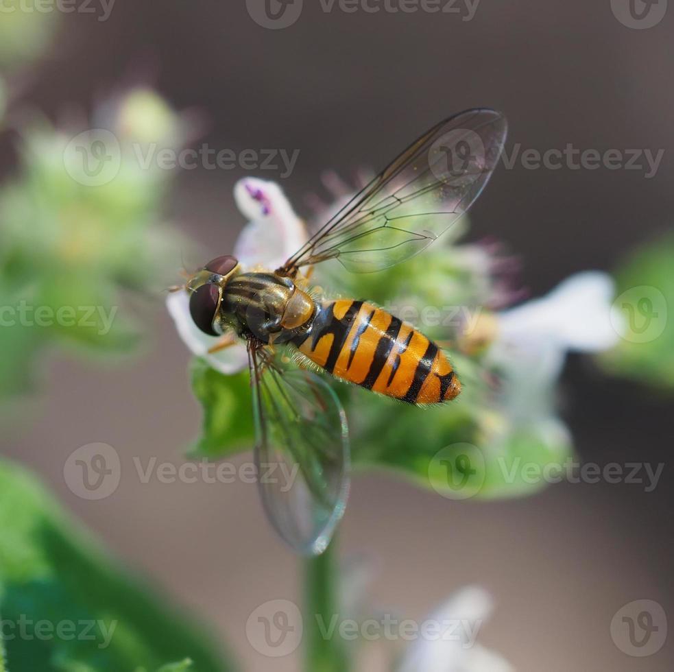 hoverfly en bosque foto