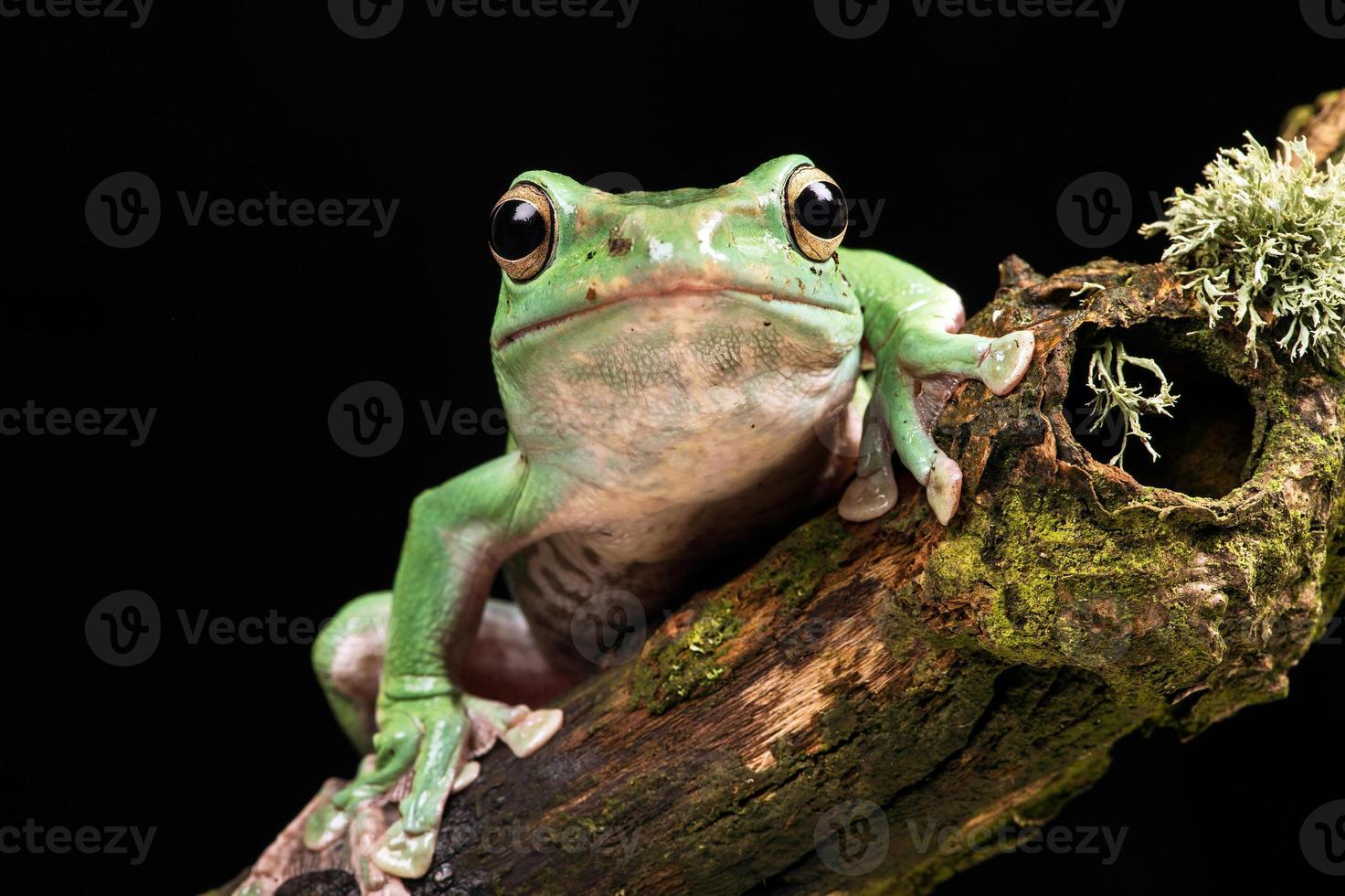 Vietnamese Blue Flying Frog photo