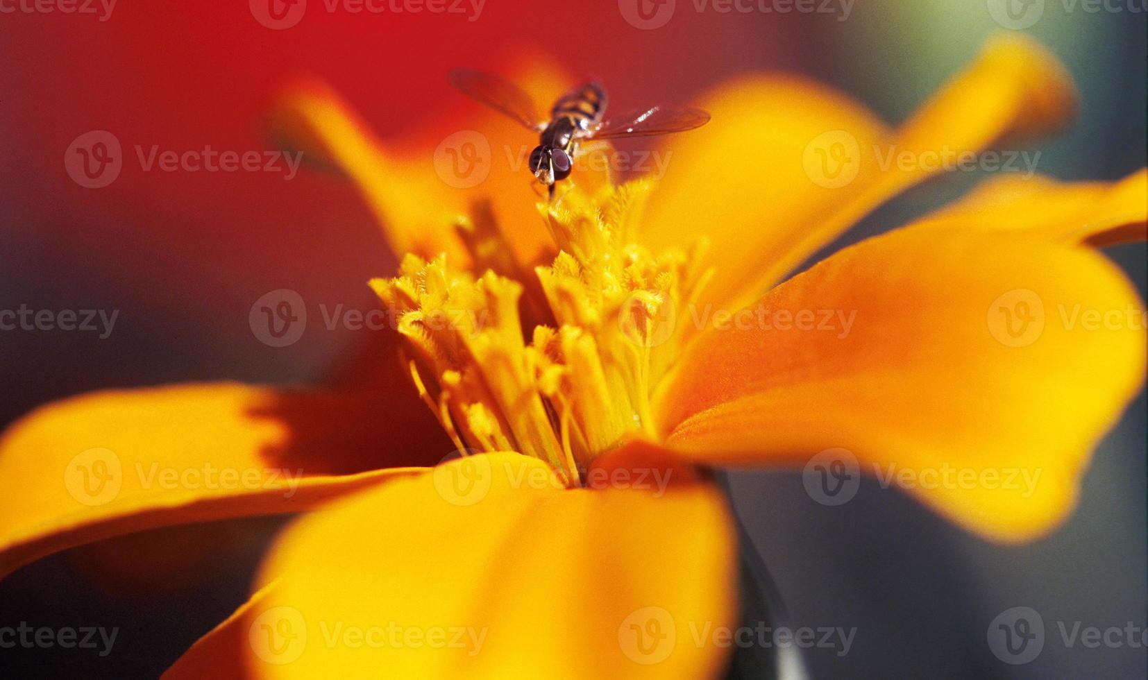 mosca de patas largas que se cierne sobre la hermosa flor de color naranja amarillento foto