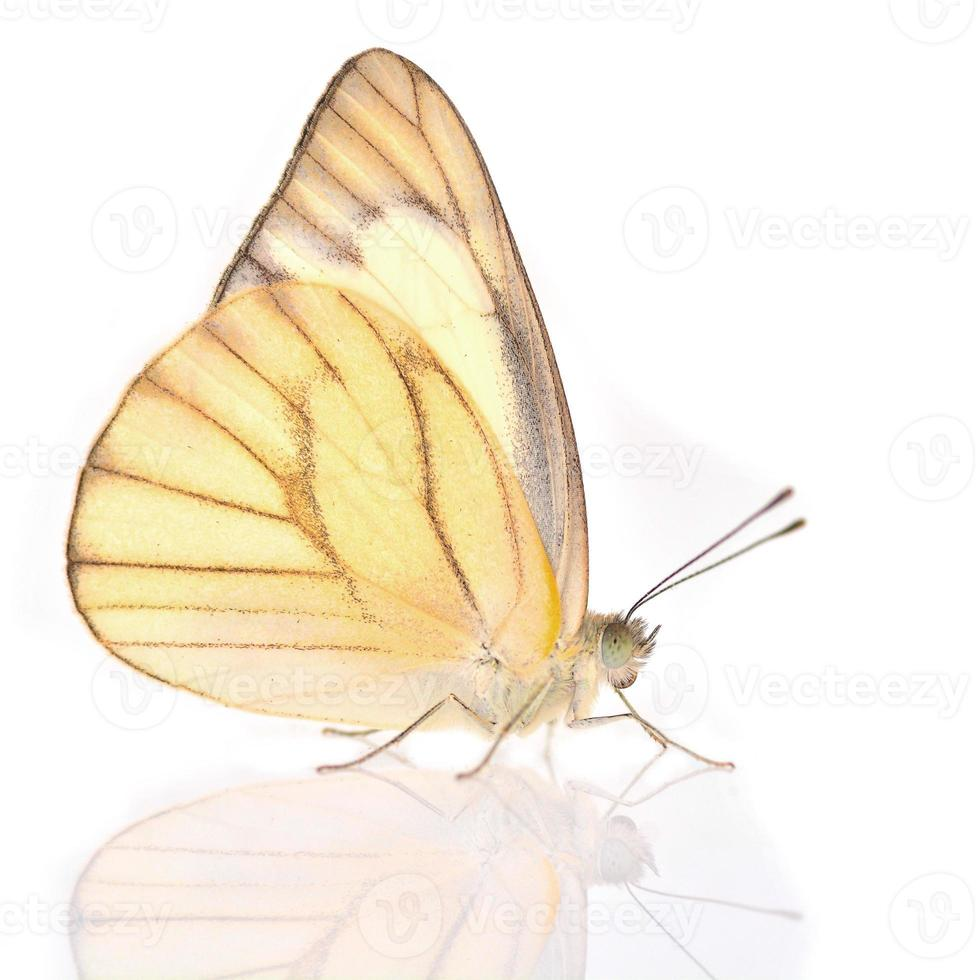 White and Yellow Butterfly photo