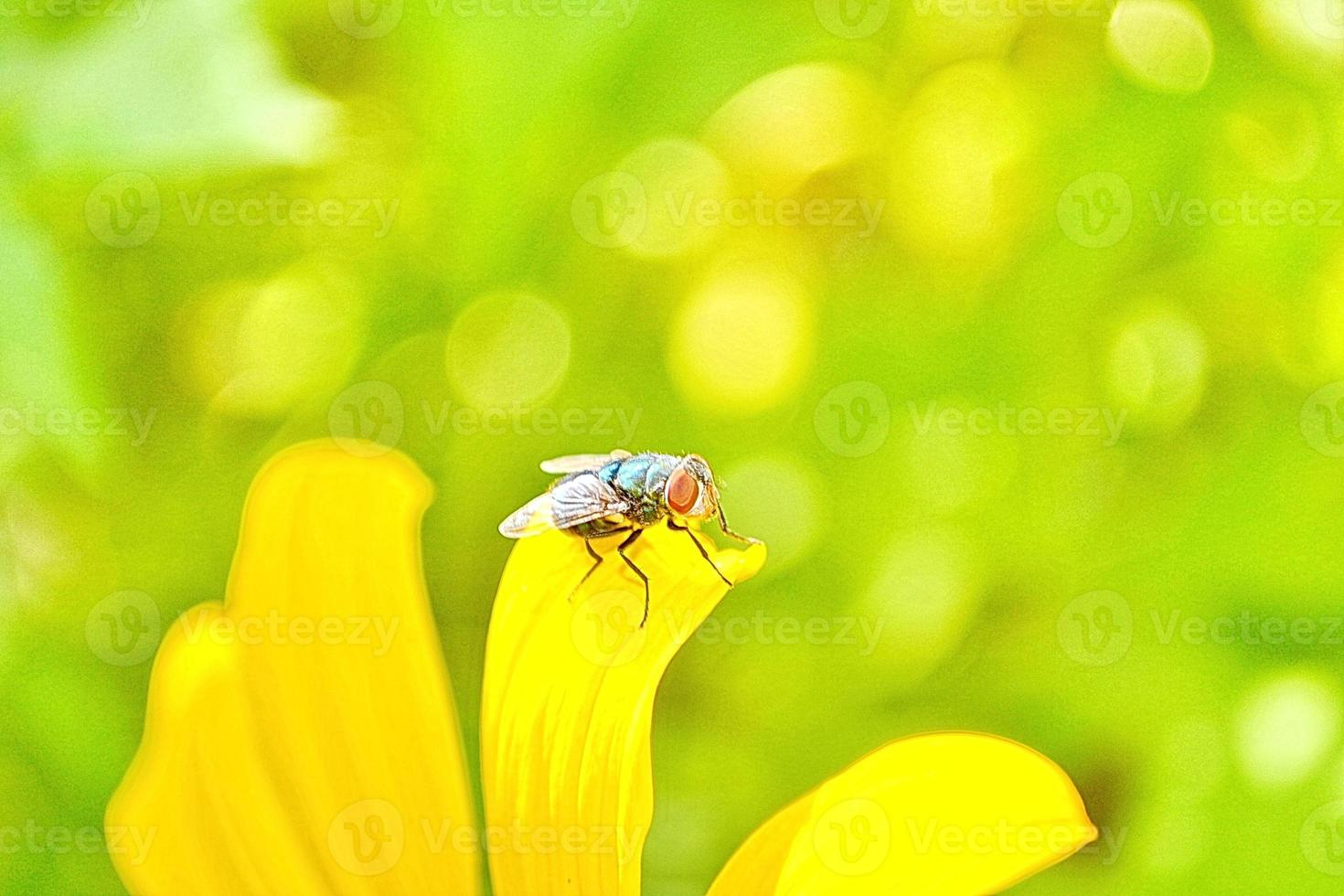mosca verde en la flor foto