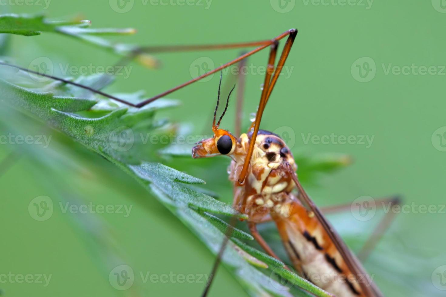 insectos mosquitos foto