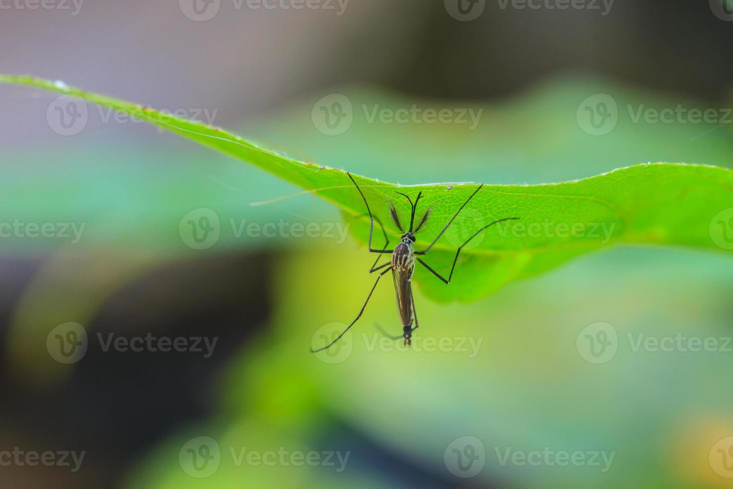 mosquito en hoja verde foto