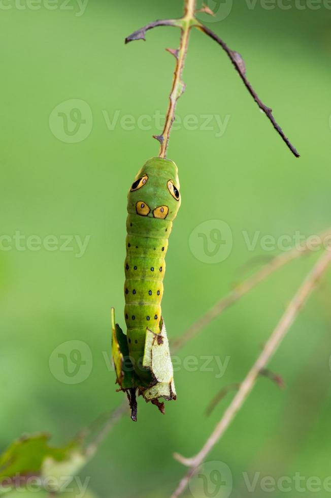 spicebush swallowtail (papilio troilus) oruga y hoja defoliada foto