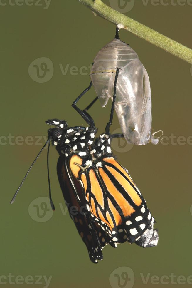 Monarch emerging from its chrysalis photo