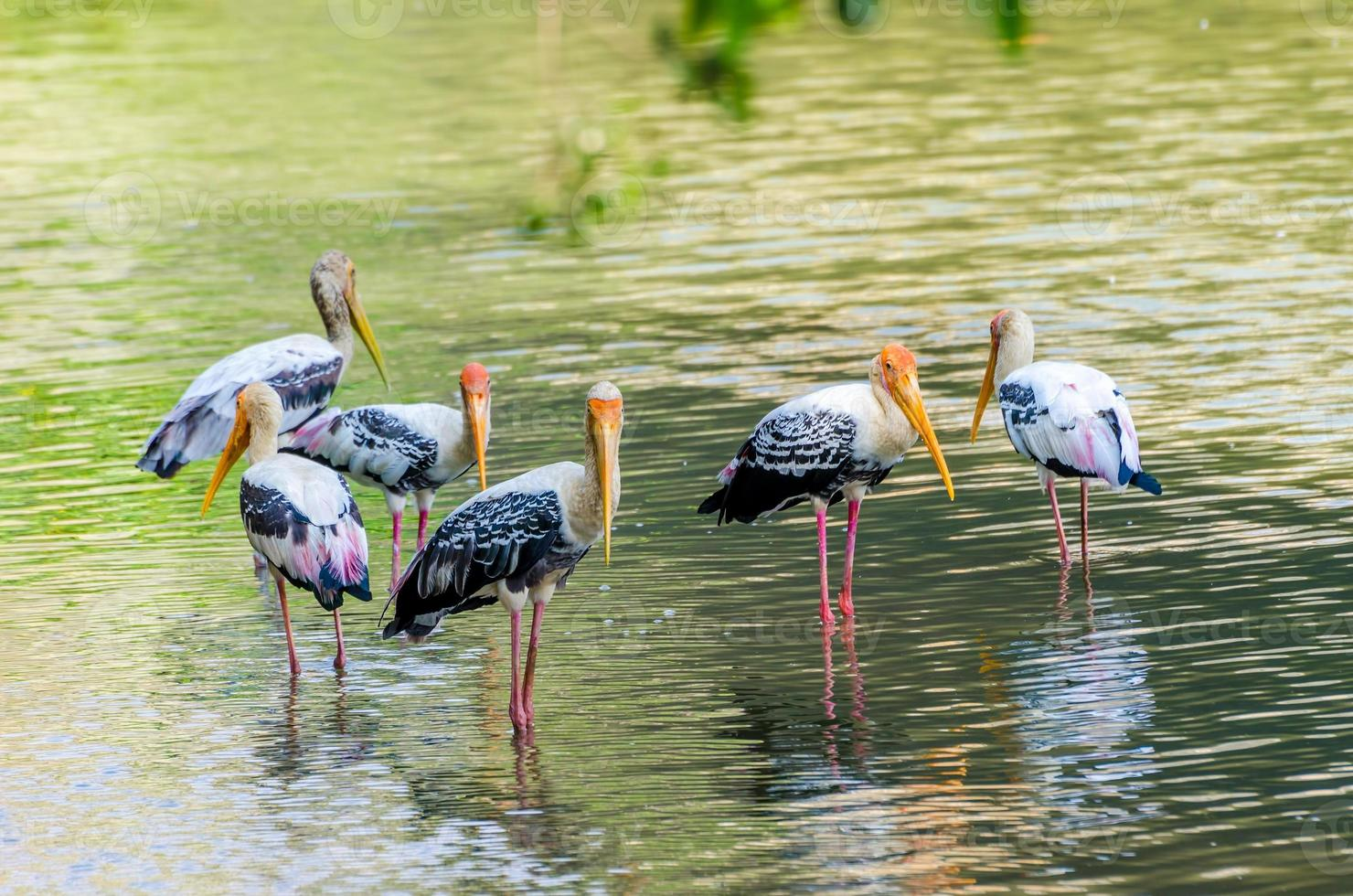 Painted Stork photo