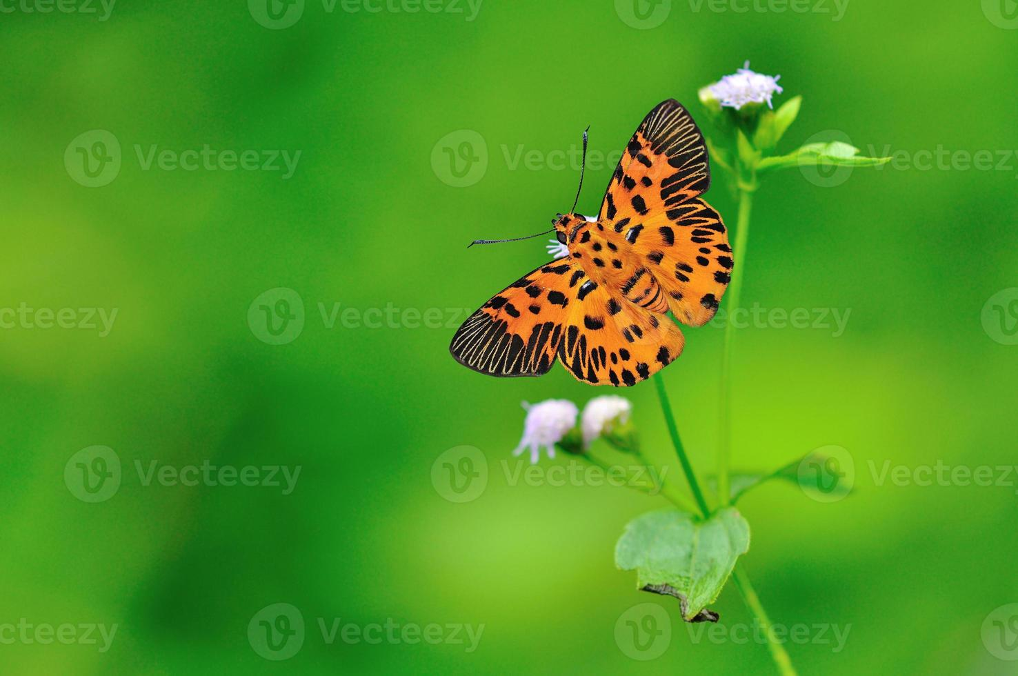 Zigzag Flat Butterfly photo