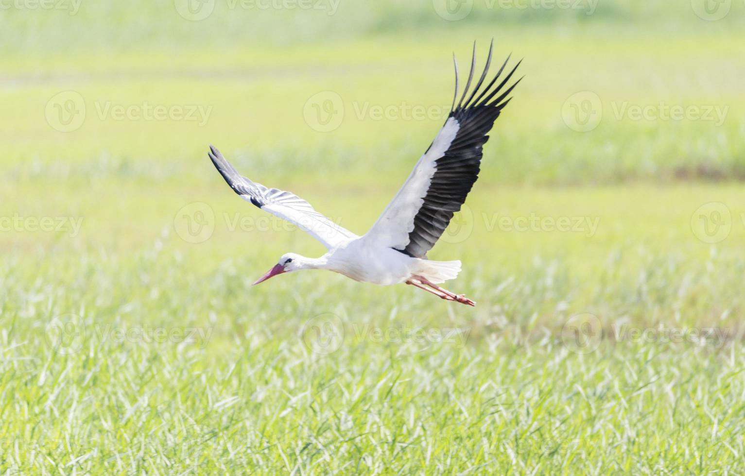write stork, ciconia ciconia photo