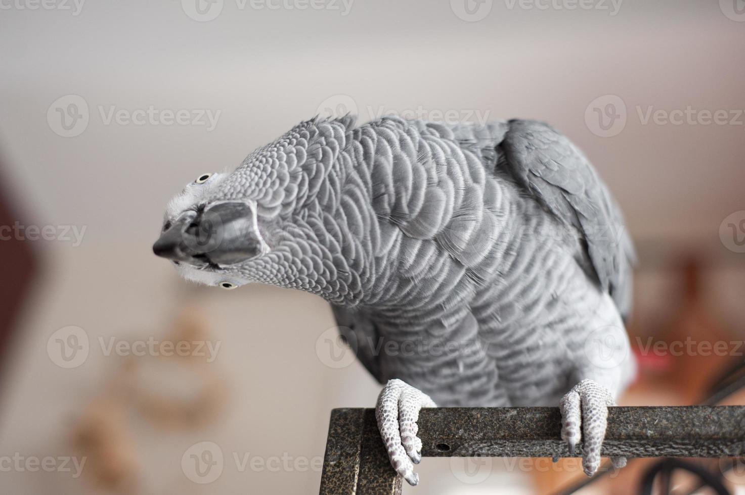 Curious African Grey Parrot photo