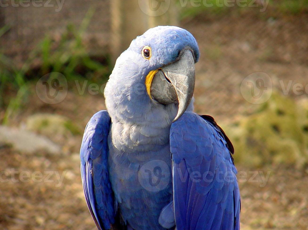 blauwe papegaai @ sedgwick county zoo foto