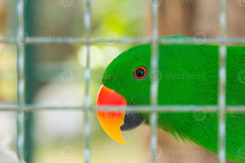 Eclectus parrot in bird cage closeup photo
