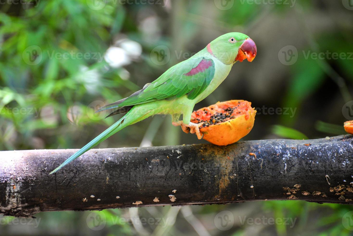 hermoso pájaro verde loro eclectus foto