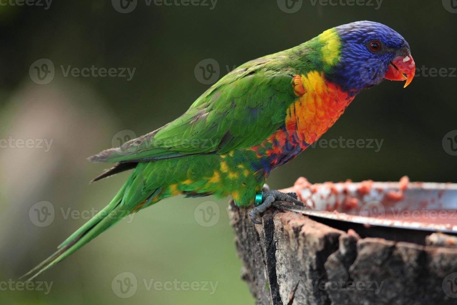arco iris lorikeet (trichoglossus moluccanus) foto