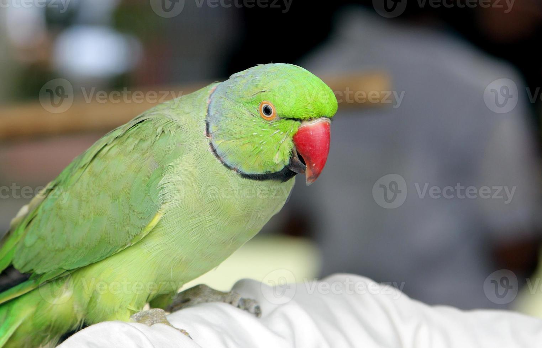 lindo papagaio verde foto