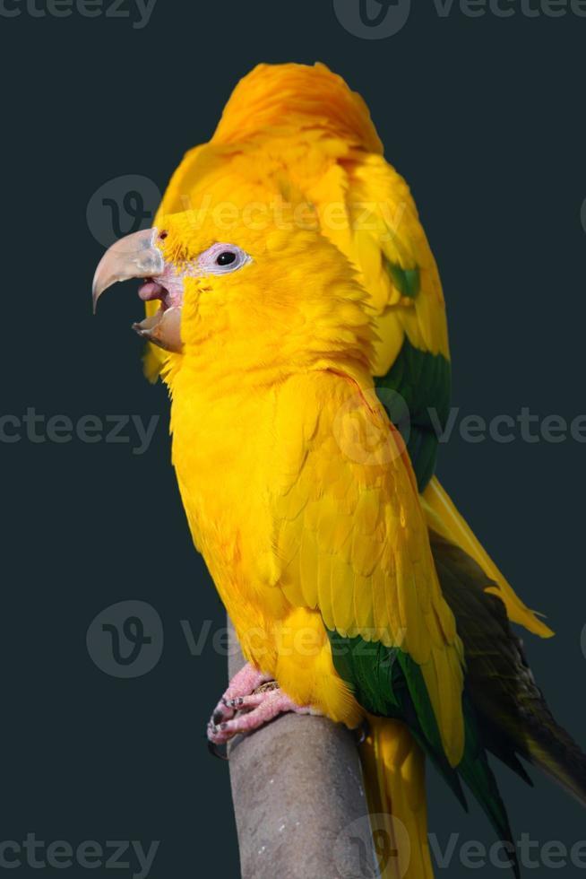 loro amarillo foto