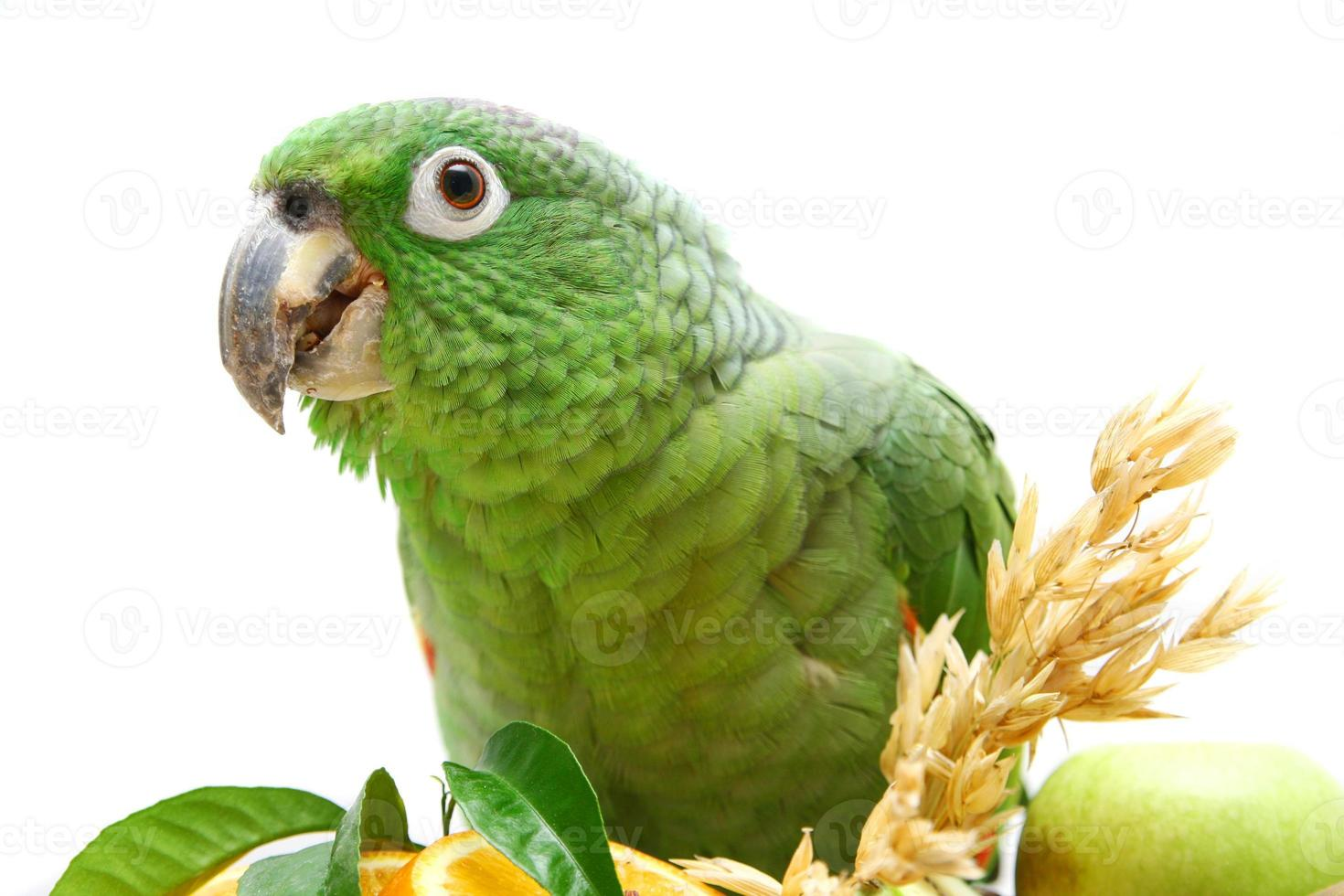 Mealy Amazon parrot eating on white photo