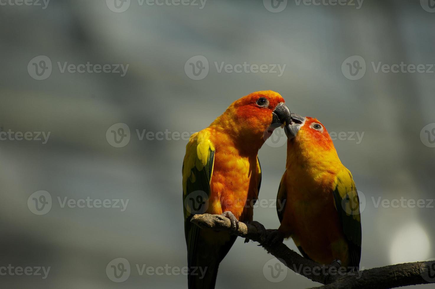 pareja de loros besandose foto