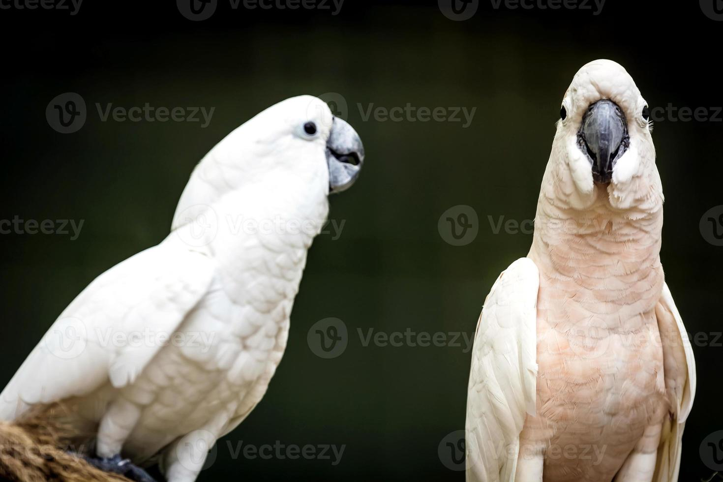 Cockatoo photo