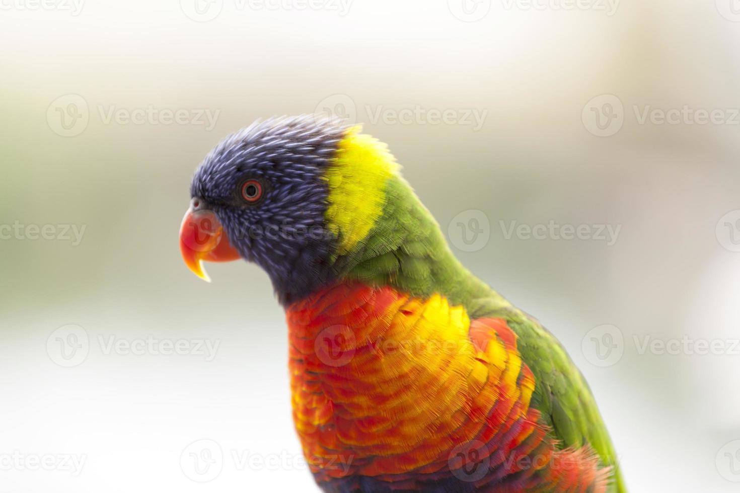 perroquet australien photo