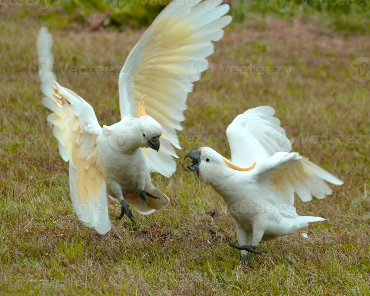 cacatúas en conflicto foto
