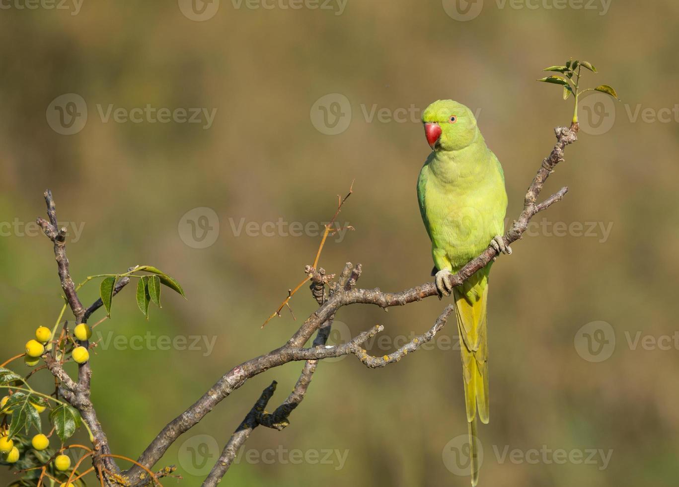 Beautiful Rose-ringed Parakeet photo