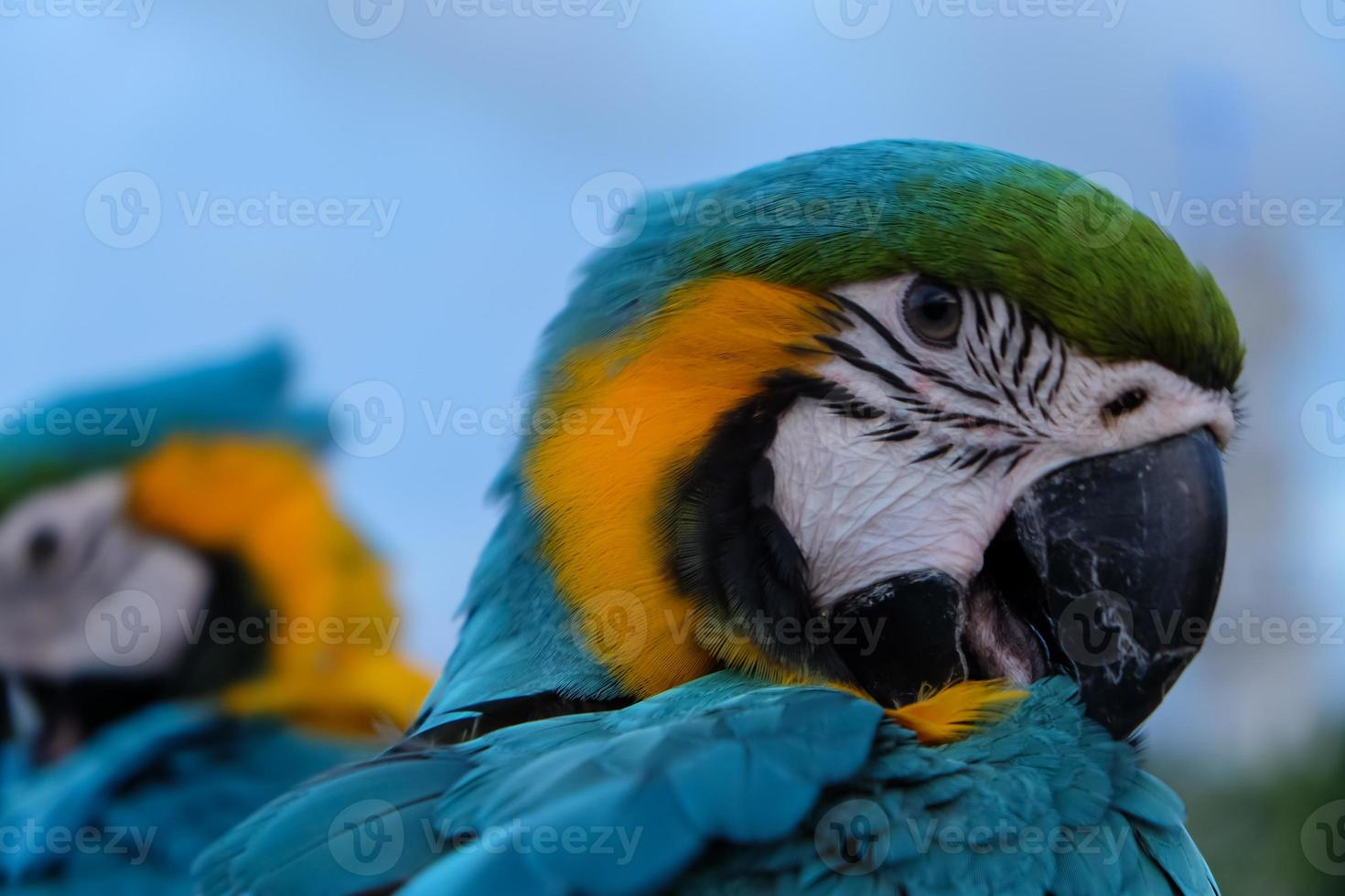 mooie blauwe kroonparkiet papegaai foto