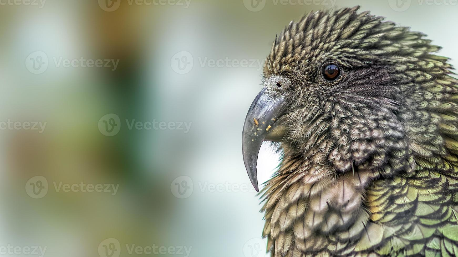 Kea loro (nestor notabilis) retrato (versión recortada). foto