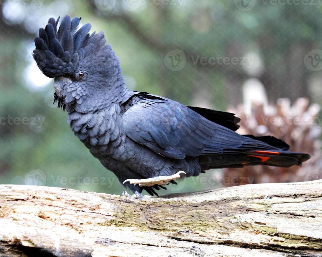 cacatúa negra de cola roja (calyptorhynchus banksii) foto