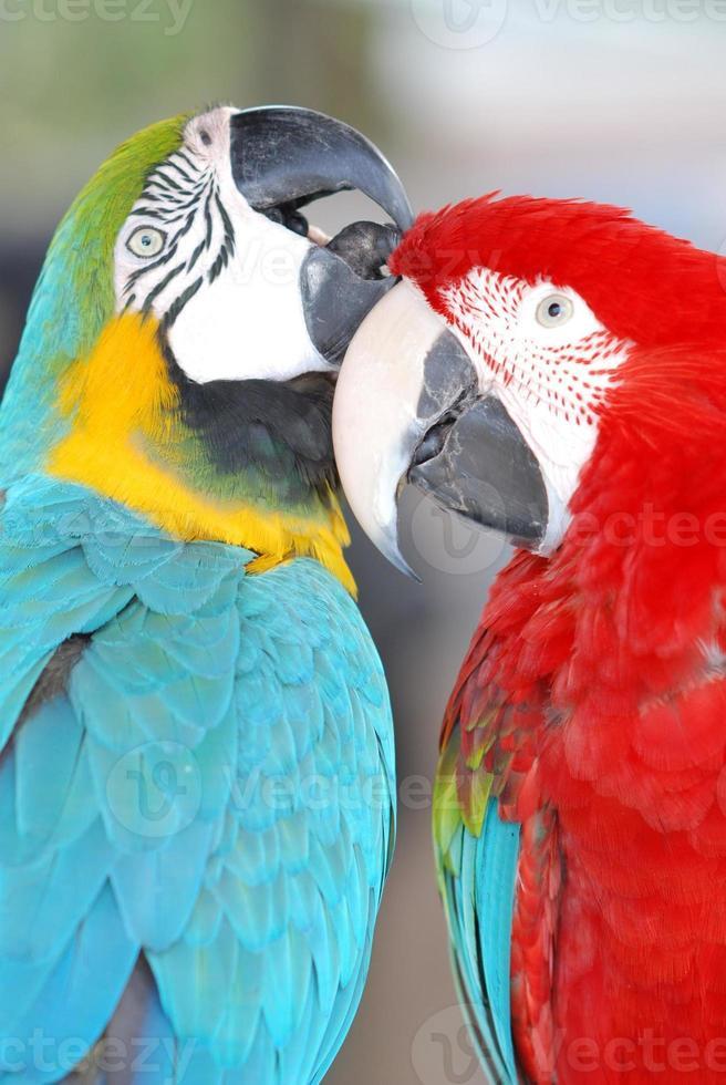 Par de loros mccaw acicalarse sus plumas foto