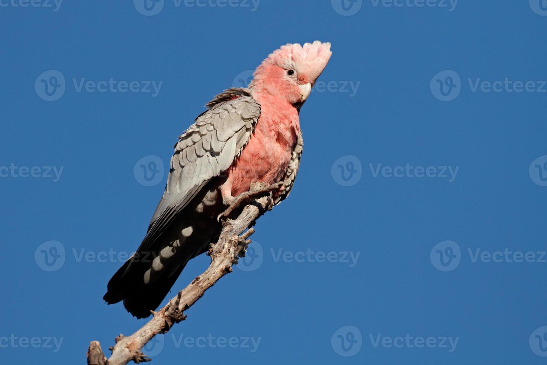 galah cockatoo, Australië foto