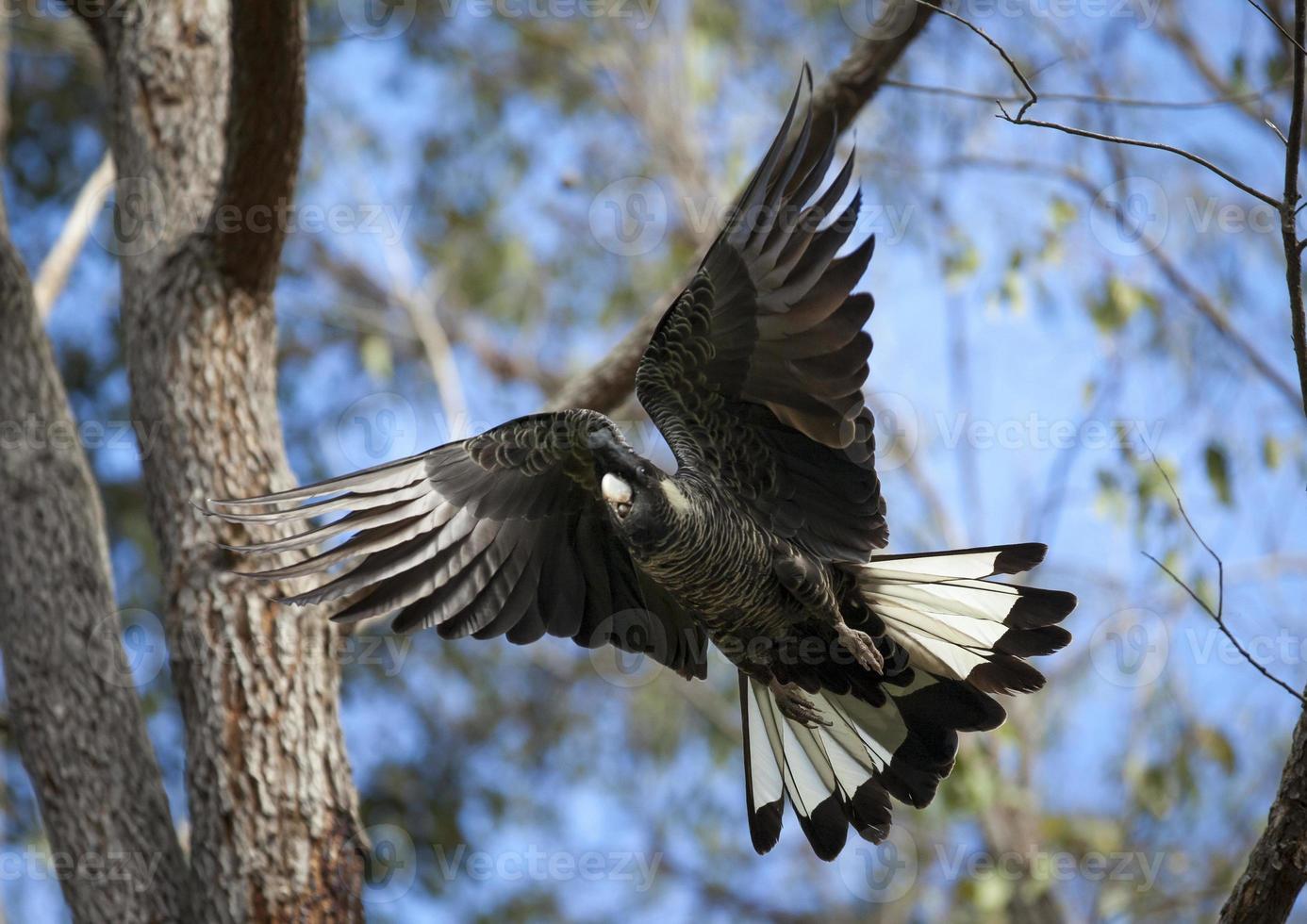 la cacatúa negra de cola blanca de carnaby alza el vuelo. foto