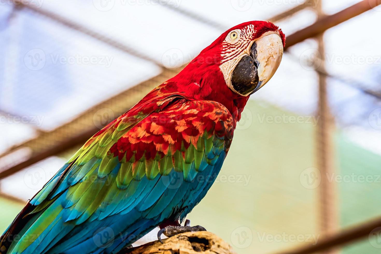 guacamayo rojo o loro cacatúas ara foto
