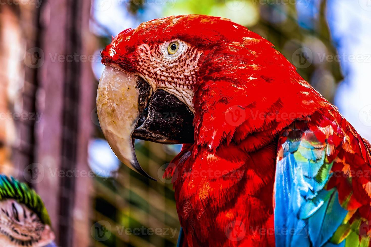 Guacamayo rojo o ara cacatúas loro closeup foto
