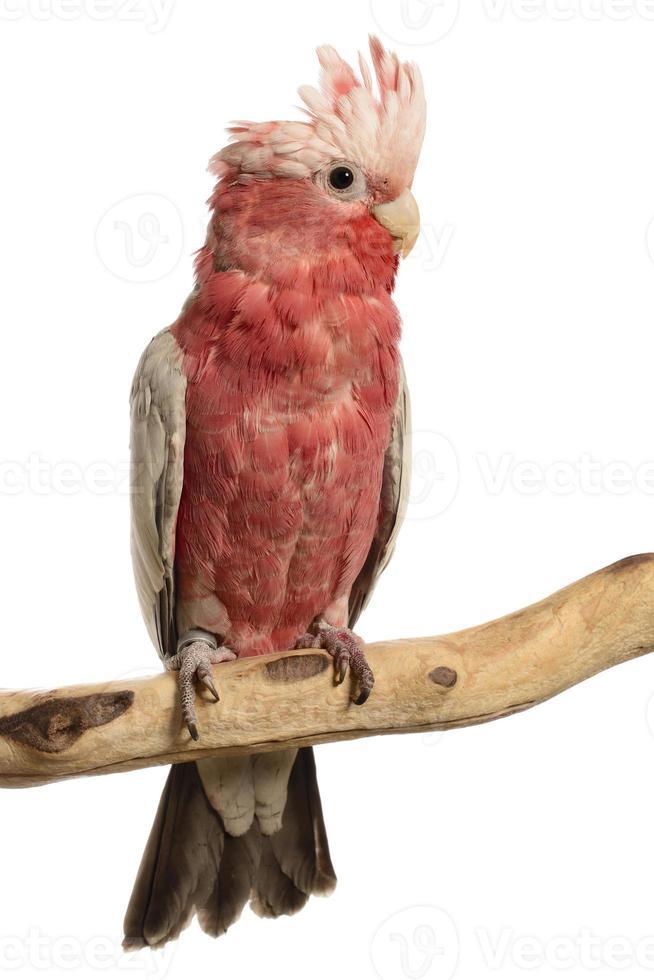 cacatúa de pecho rosa foto