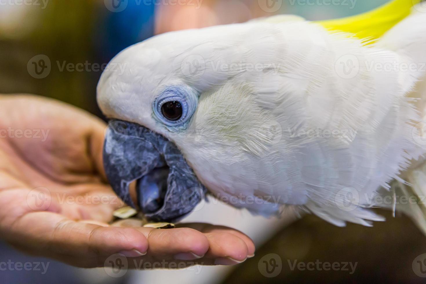 cacatúa de cresta amarilla (cacatua sulphurea) comiendo foto