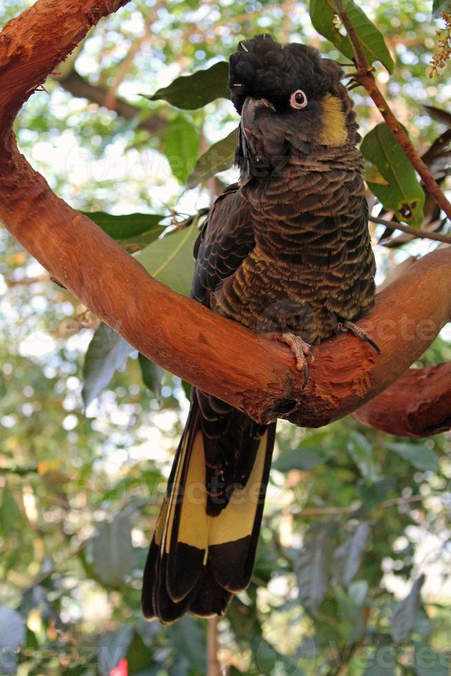 cacatúa negra encaramada en una rama foto