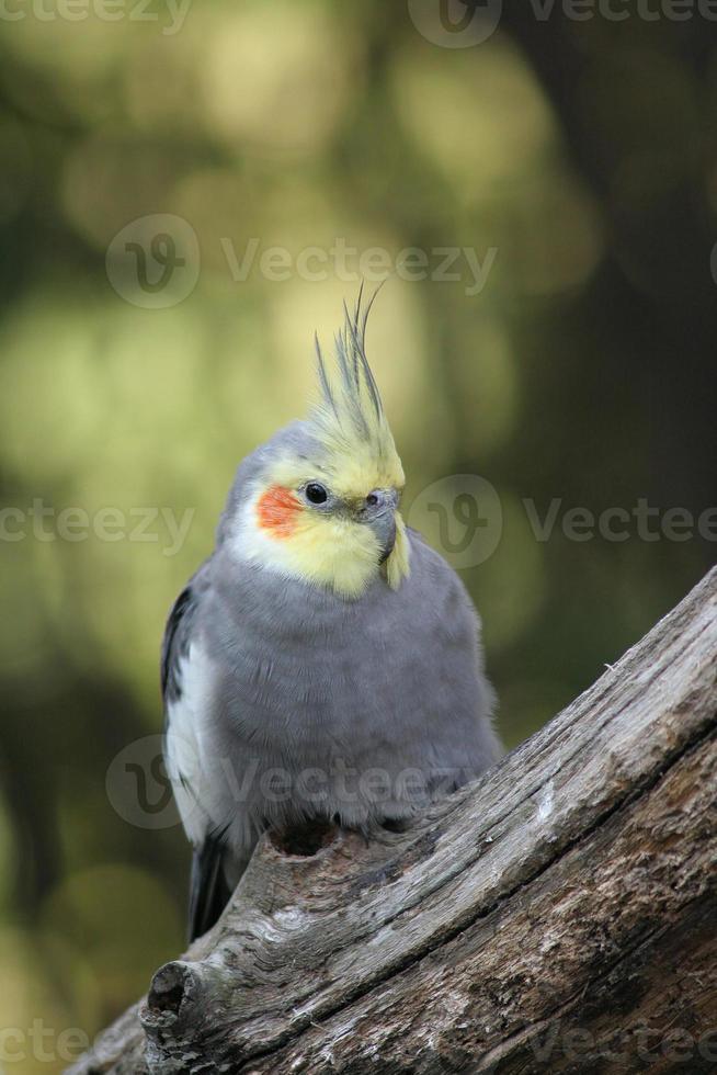 Cockatiel macho pájaro sentado en la rama de un árbol foto