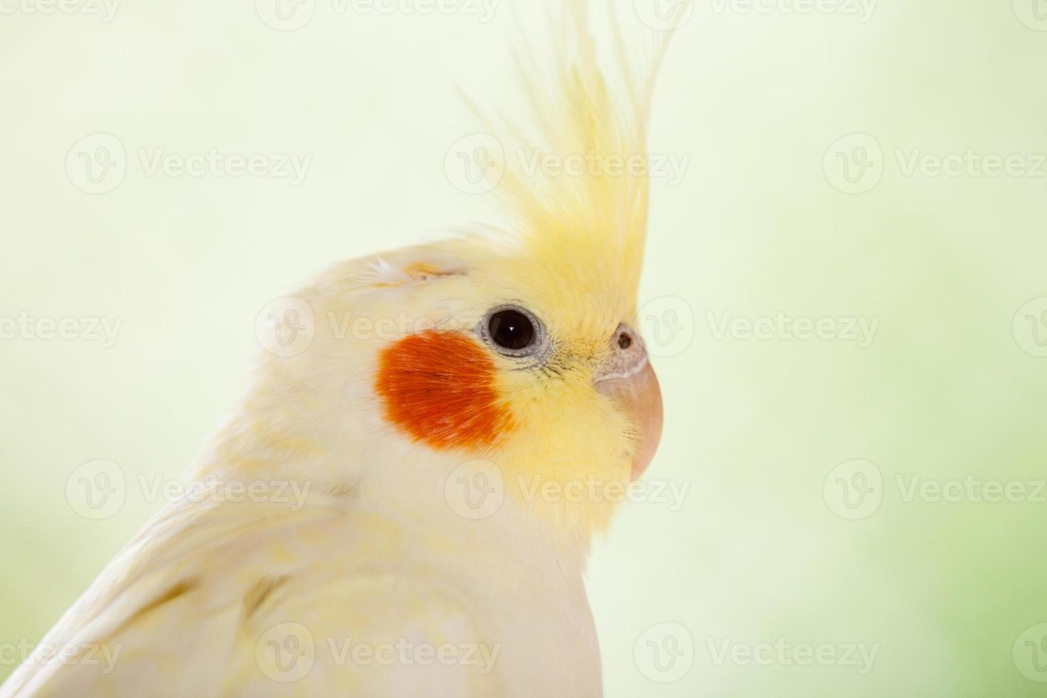 el cockatiel nymphicus hollandicus foto