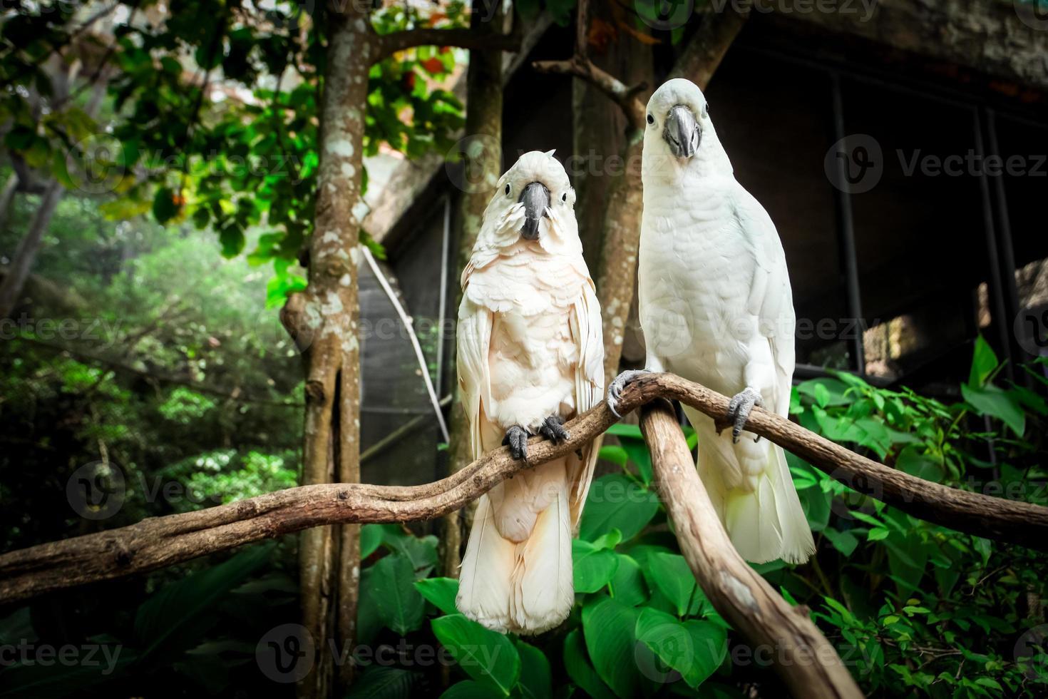 Dos pájaros loro blanco de apareamiento en la rama de madera. foto