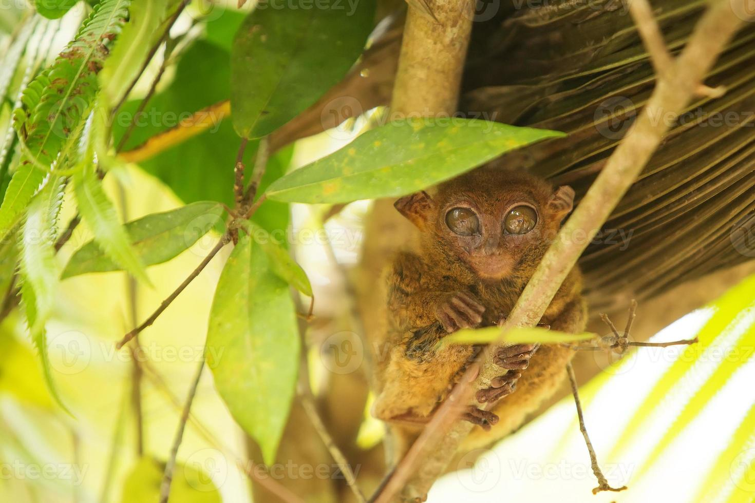 Tarsier photo