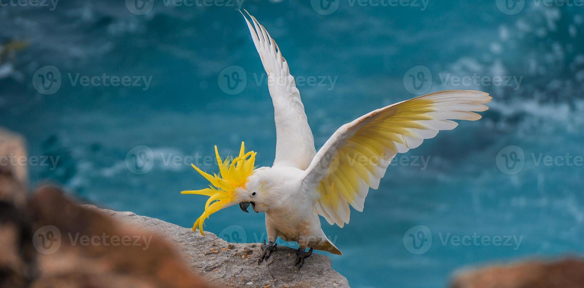 cacatúa muestra sus alas foto